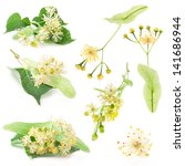 Collections Of Linden Flowers...