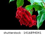 Beautiful Red Rose Flower...