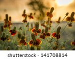 Mexican Hat Wildflowers Bathed...