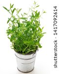 Small photo of Summer Savory (Satureja Hortensis), Plants in a Pot Isolated on White Background