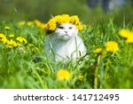 Stock photo fluffy cat walks in the spring grass 141712495