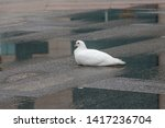 A White Peace Dove Squats On...