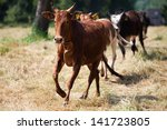 Dwarf Zebu Cows Running On The...