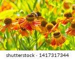 Helenium Waltraut Autumnale...