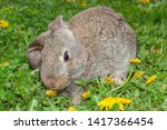 Stock photo rabbit grey bunny little hare on grass dandelions 1417366454
