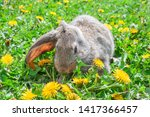 Stock photo rabbit grey hare bunny in the grass with dandelions 1417366457