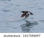a razorbill or lesser auk...