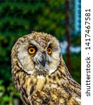 Stock photo owl portrait close up view owl eyes owl looking owl close up 1417467581