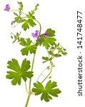isolated malva sylvestris plant ... | Shutterstock . vector #141748477