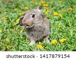 Stock photo rabbit or bunny or hare in the grass dandelion 1417879154