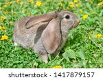 Stock photo little grey rabbit or bunny or hare in the grass dandelion 1417879157