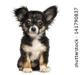 Stock photo chihuahua puppy sitting looking at the camera months old isolated on white 141790837