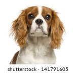 Close Up Of A Cavalier King...