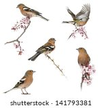 Stock photo collection of common chaffinch perched on a branch fringilla coelebs isolated on white 141793381