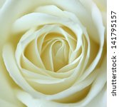 Stock photo close up view of a beautiful white rose macro image of white rose 141795157
