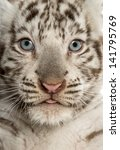 Close Up Of A White Tiger Cub ...