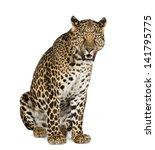 Leopard Sitting  Roaring ...