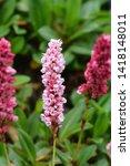 fleece flower   latin name  ... | Shutterstock . vector #1418148011