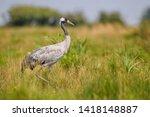 Common Crane   Grus Grus ...
