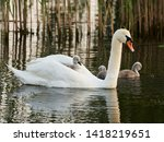 White Mother Swan With A Small...