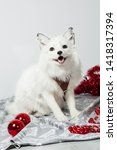 Small photo of White fox smiles in a white studio with red Christmas toys