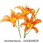 Tiger Striped  Lilies On White...