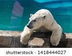 Beautiful Polar Bear In The Zo...