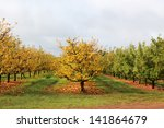 Apple Orchard In Late Autumn...