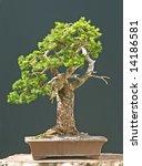 spruce bonsai | Shutterstock . vector #14186581