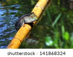 Mudskipper Resting On The Bamboo