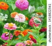 Colorful  Zinnia Garden With...
