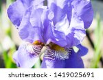 colorful violet iris flower... | Shutterstock . vector #1419025691