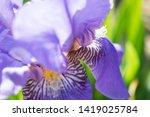 colorful violet iris flower... | Shutterstock . vector #1419025784