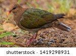 Emerald Dove On Norfolk Island...
