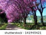 Cherry Blossom Path Way
