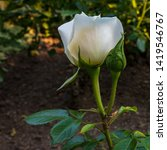 Small photo of White rose flower with open and closed bud in garden, sidewise and close up.
