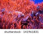Clown Fishes Swimming Near The...
