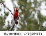 Male Cardinal Perched On A Dea...