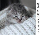 Stock photo newborn cute kitten sleeping in a warm wool scarf blanket little sleeping cat scottish fold 1419819407
