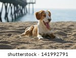 Stock photo male breton dog 141992791