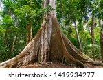 Small photo of ALTER DO CHAO, BRAZIL - CIRCA SEPTEMBER, 2018: Sumuma tree called 'Grandma' is attraction of the Piquia Trail, made inside the Amazon Rain Forest of the Tapajos, in Alter do Chao, state of Para