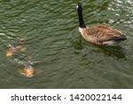 Canada Goose And Koi Carp...