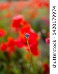 rural poppy field. in a meadow  | Shutterstock . vector #1420179974