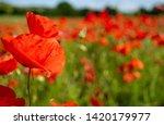 rural poppy field. in a meadow  | Shutterstock . vector #1420179977
