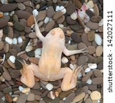 Small photo of Xenopus laevis (African clawed frog)