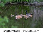 Canada geese swimming with...