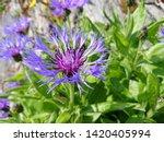 Closeup Of A Centaurea Montana...
