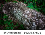 old tree with lichen in the... | Shutterstock . vector #1420657571