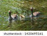 Family Of Four Geese Swimming