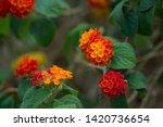 Blooming Lantana In Summer...